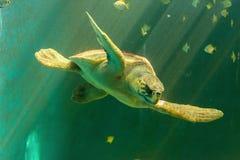 大海龟游泳 免版税库存照片