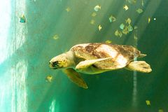 大海龟游泳 图库摄影