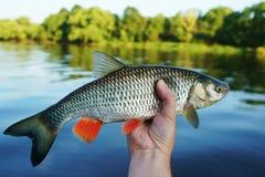 大淡水鳔形鱼在渔夫` s手,被定调子的影片上 免版税库存图片
