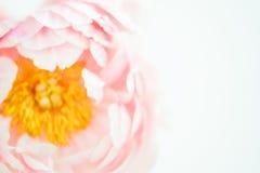 大淡粉红脸红牡丹花特写镜头 库存照片