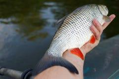 大淡水鳔形鱼在渔夫的手上 免版税库存照片
