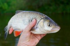 大淡水鳔形鱼在渔夫的手上 免版税库存图片