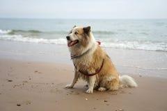 大混杂的品种狗坐美丽的海滩 免版税库存图片