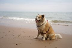 大混杂的品种狗坐美丽的海滩 免版税图库摄影