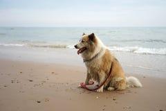 大混杂的品种狗坐美丽的海滩 库存图片