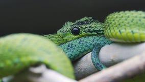 大湖灌木蛇蝎Atheris nitschei被扭转分支 股票录像