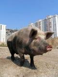 大滑稽的猪 免版税库存照片