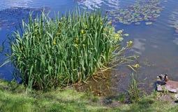 水大灌木使在海岸的开花现虹彩农村 免版税库存照片