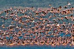 大火鸟飞行聚集在粉红色的湖 图库摄影