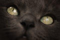 大灰色猫特写镜头画象与焦点的在眼睛 免版税库存照片