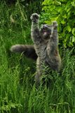 大灰色猫 库存图片