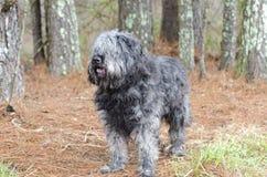 大灰色蓬松褴褛的老英国护羊狗Newfie类型狗需要新郎 免版税库存照片