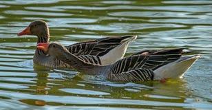 大灰色鹅是横渡这样品种的结果象Romensky和图卢兹 免版税库存照片