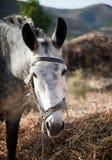 大灰色驴 免版税图库摄影