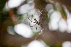 大热带蜘蛛-在蜘蛛网的nephila金黄天体 库存图片