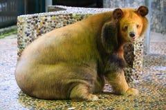 大熊下来坐地板 库存照片