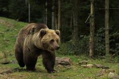 大熊在森林里走 库存图片
