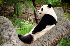 大熊猫休息 免版税图库摄影