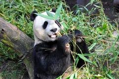 大熊猫吃午餐在圣地亚哥动物园 免版税库存图片