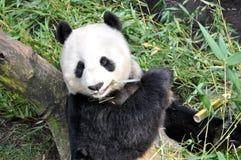 大熊猫吃午餐在圣地亚哥动物园 免版税图库摄影