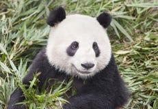 大熊猫吃新鲜的竹子 免版税库存图片