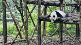 大熊猫在四川,中国 免版税库存照片
