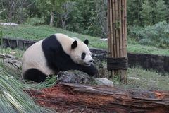 大熊猫在都江堰休息 免版税库存图片