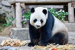 大熊猫坐地面 免版税库存图片