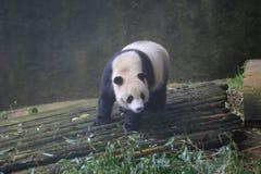 大熊猫属于食肉目、熊家庭、大熊猫子族和大熊猫的唯一的哺乳动物 的treadled 免版税图库摄影