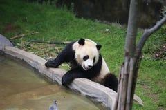大熊猫属于食肉目、熊家庭、大熊猫子族和大熊猫的唯一的哺乳动物 的treadled 库存图片