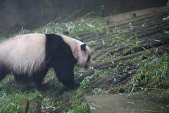 大熊猫属于食肉目、熊家庭、大熊猫子族和大熊猫的唯一的哺乳动物 的treadled 库存照片