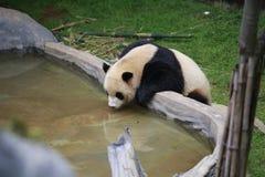 大熊猫属于食肉目、熊家庭、大熊猫子族和大熊猫的唯一的哺乳动物 的treadled 免版税库存照片