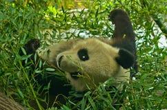 大熊猫熊在Schoenbrunn公园动物园的竹森林里在维也纳 免版税图库摄影
