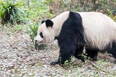 大熊猫特写镜头 免版税库存图片