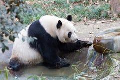 大熊猫特写镜头 库存图片