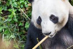 大熊猫特写镜头 免版税库存照片