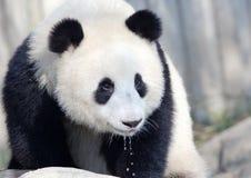 大熊猫用水滴下在它的嘴下的,成都,中国 免版税库存图片