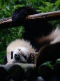 大熊猫睡眠 图库摄影