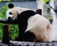 大熊猫睡着了 库存图片