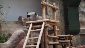 大熊猫睡觉在操场的大猫熊melanoleuca在动物园里 影视素材