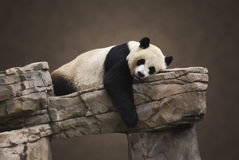 大熊猫纵向 免版税库存照片