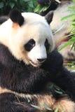 大熊猫,成都,中国 免版税图库摄影