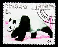大熊猫(大猫熊melanoleuca), serie,大约1986年 图库摄影