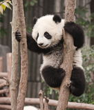 大熊猫婴孩 库存照片
