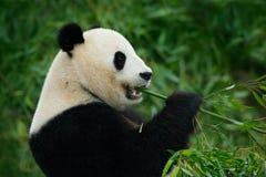 大熊猫画象 图库摄影
