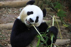 大熊猫5 库存图片