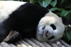 大熊猫8 免版税库存图片