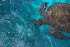 大爬行动物乌龟 库存图片
