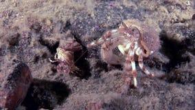 大爸爸和小的婴孩癌症寄居蟹水下在白海海底  影视素材