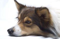 大牧羊犬休息 免版税图库摄影